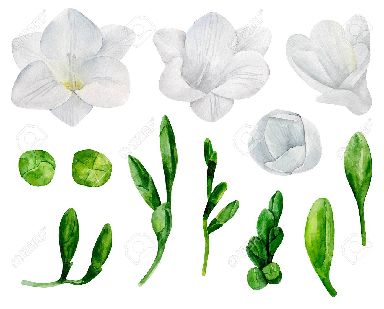 White Freesia Flowers Clipart Watercolor Wedding Floral Stock