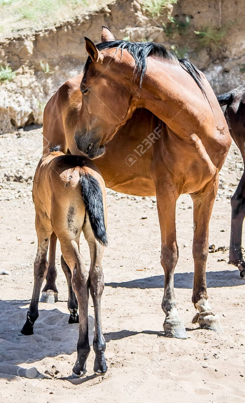 a horse with a foal in the sand foto royalty free gravuras imagens