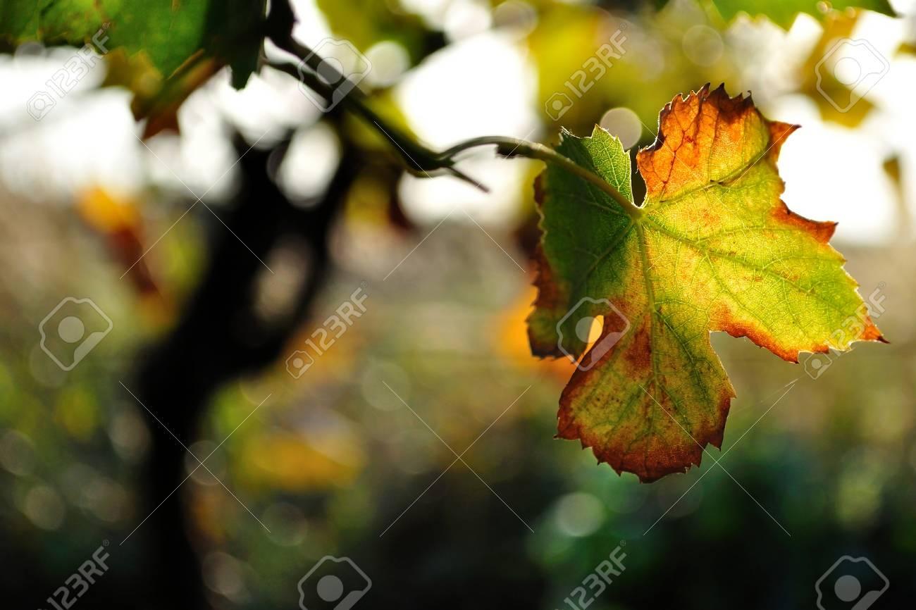 Colorful vine leaf in autumn Stock Photo - 19057325