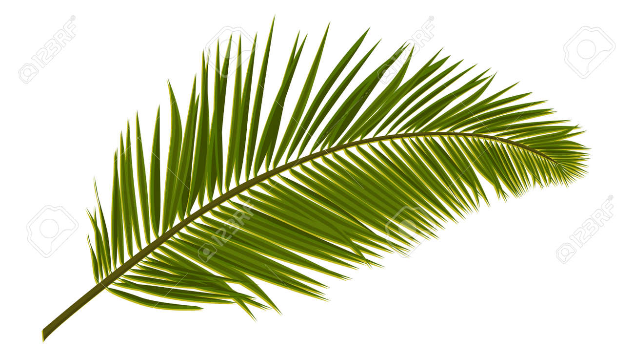 Green realistic palm leaves isolated on white. Palm branch for composing a collage. Vector illustration. - 169841429