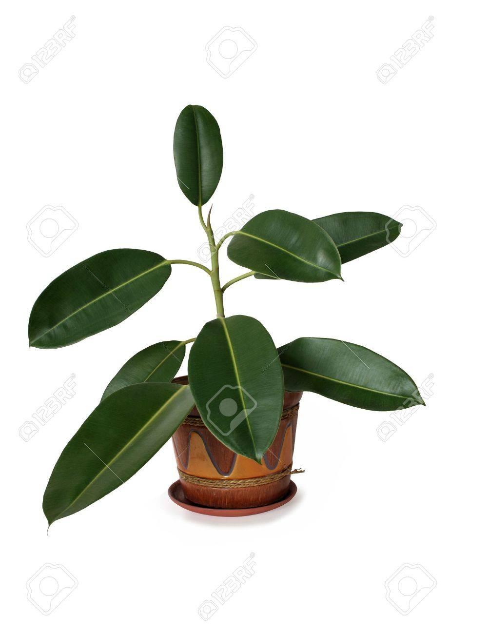 Grote Groene Plant.Gea Soleerde Binnen Plant Met Grote Groene Bladeren In Nice Bloempot