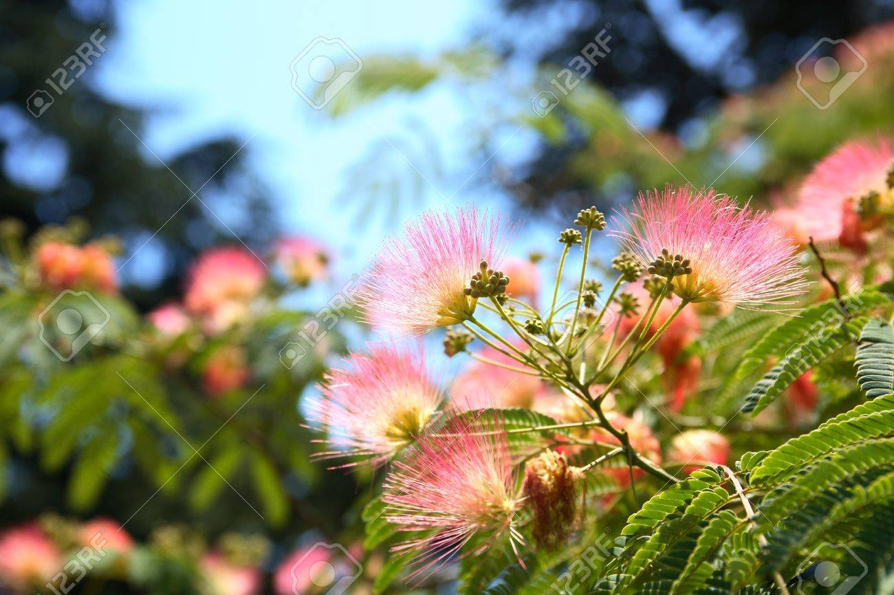 Beautiful Pink Silk Tree With Flowers On Background With Green