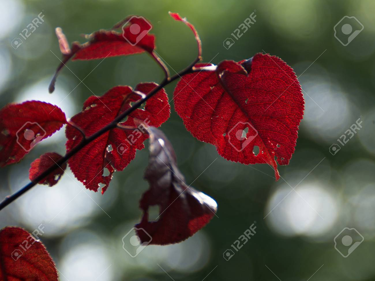 Plum Tree Dark Red Leaves And Dark Blue Fruit Stock Photo