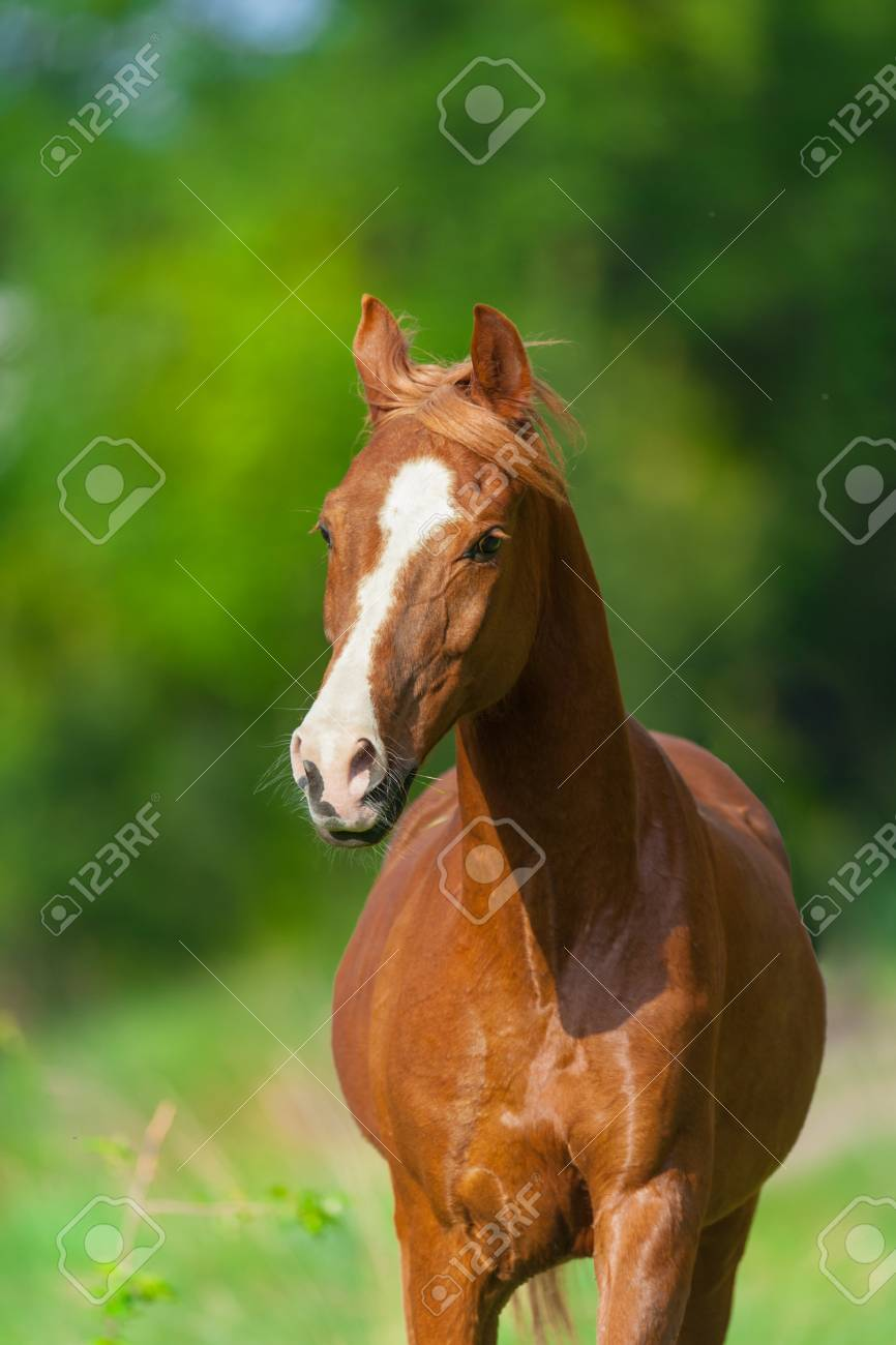 Red Arabian Horse Portrait In Motion Stock Photo Picture And Royalty Free Image Image 66001968