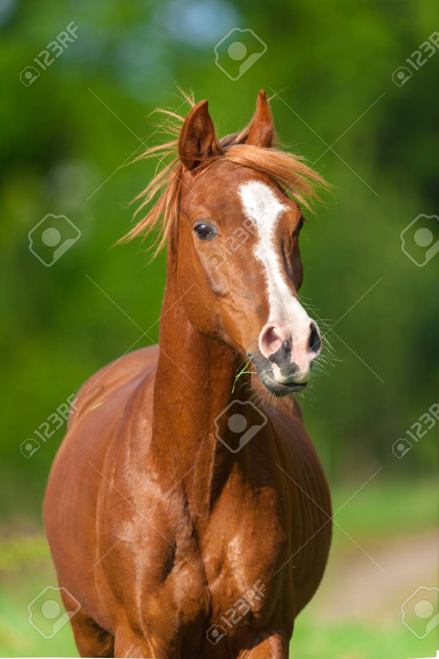 Red Arabian Horse Portrait In Motion Stock Photo Picture And Royalty Free Image Image 66001970