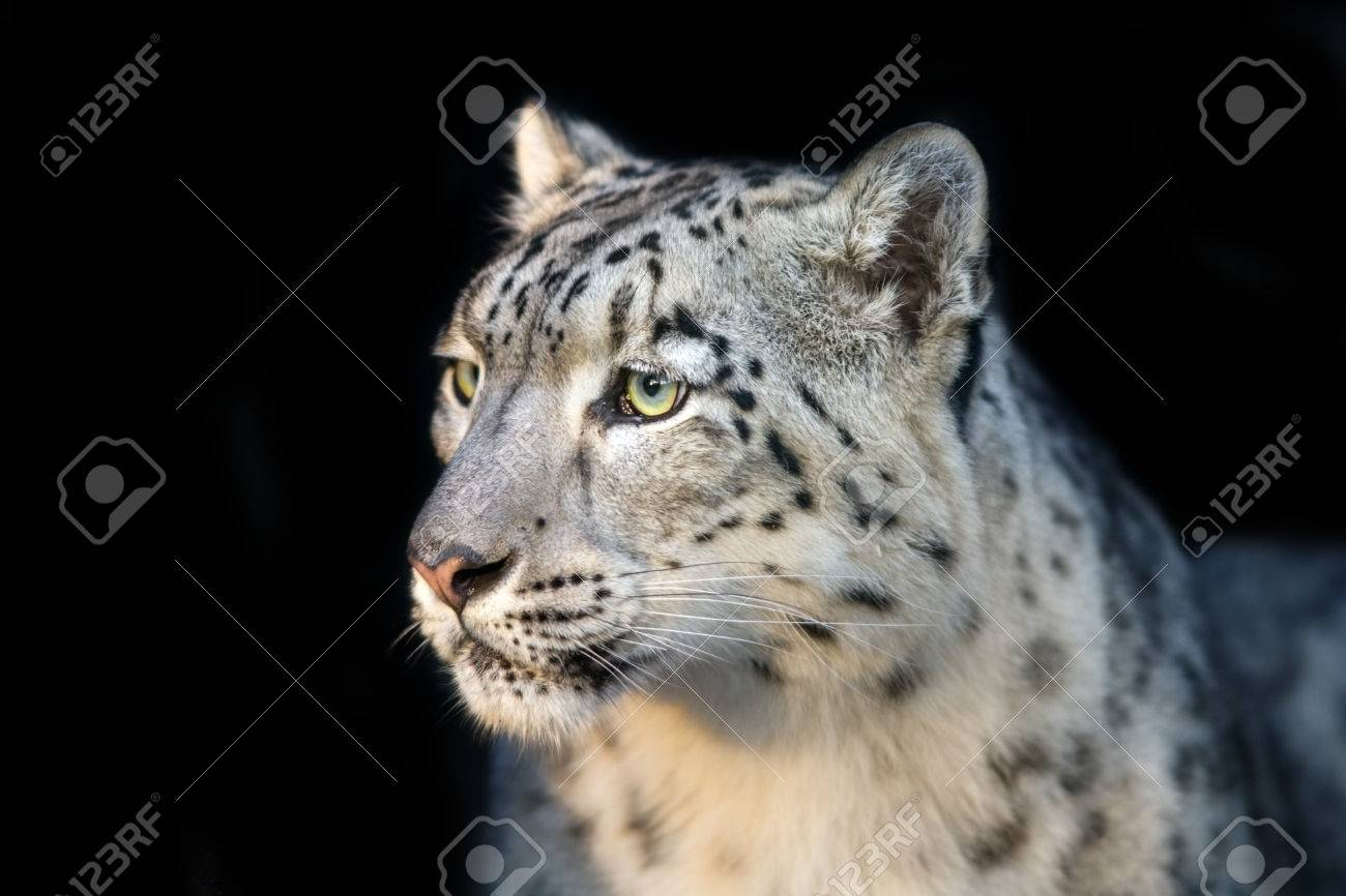 snow leopard close up portrait isolated on black background stock