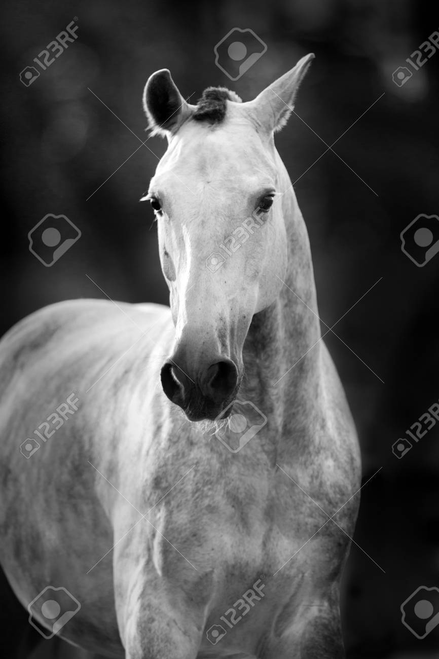 White Horse Portrait In Motion Black And White Stock Photo Picture And Royalty Free Image Image 78973525