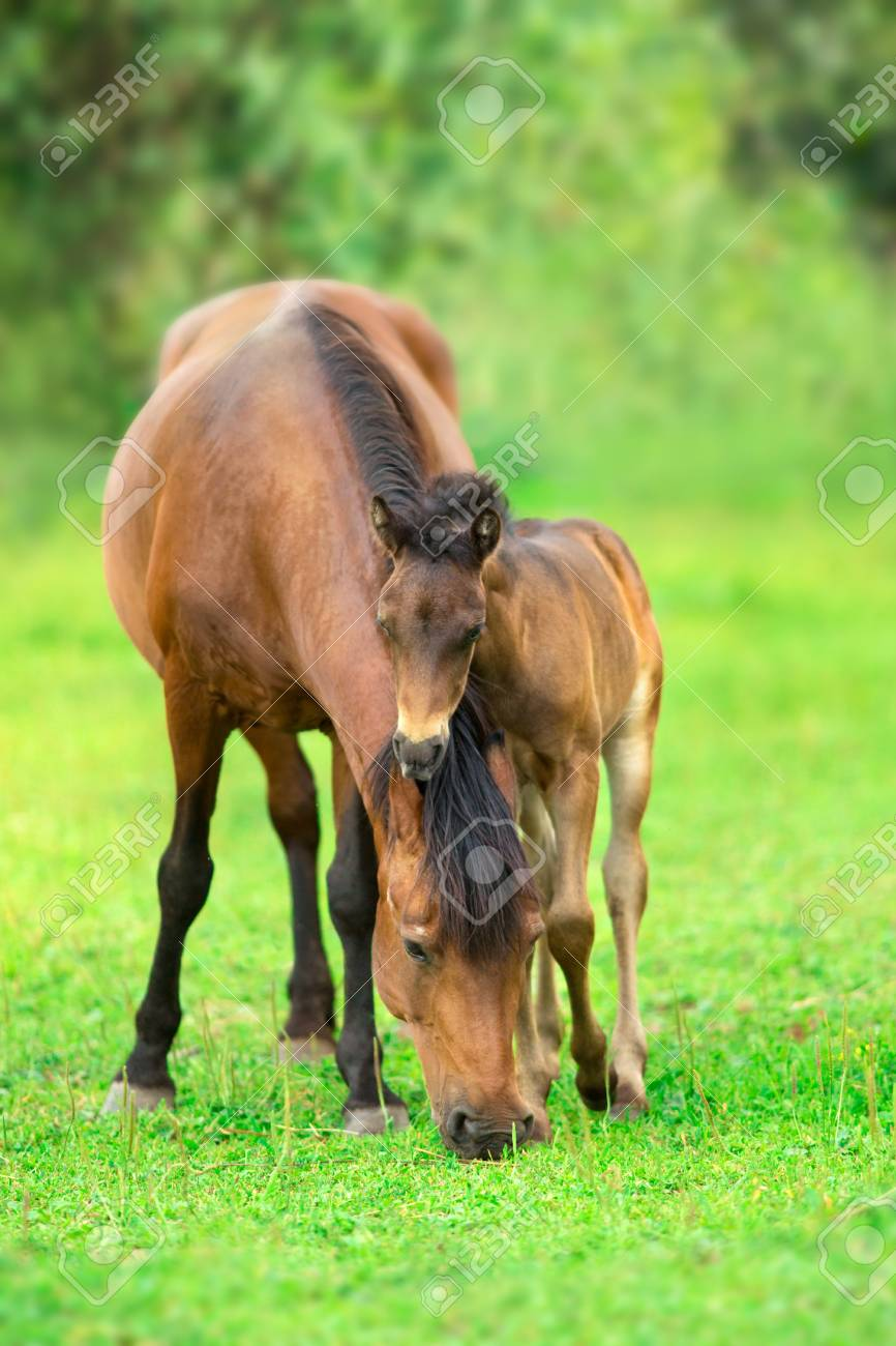 Bay little foal and mare on summer pasture rest and grazing - 113595376