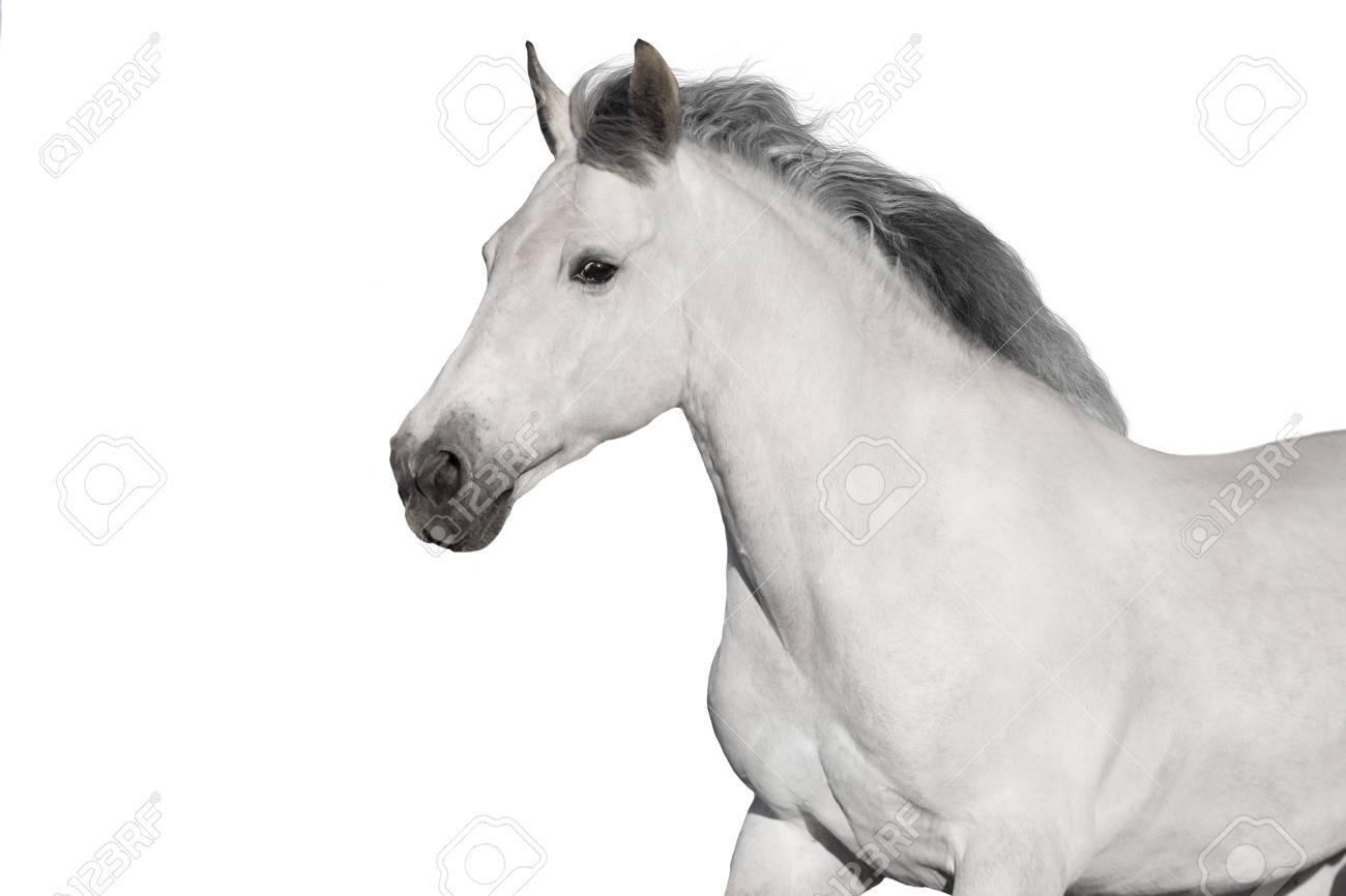 White horse portrait on white background. High key image - 117969798