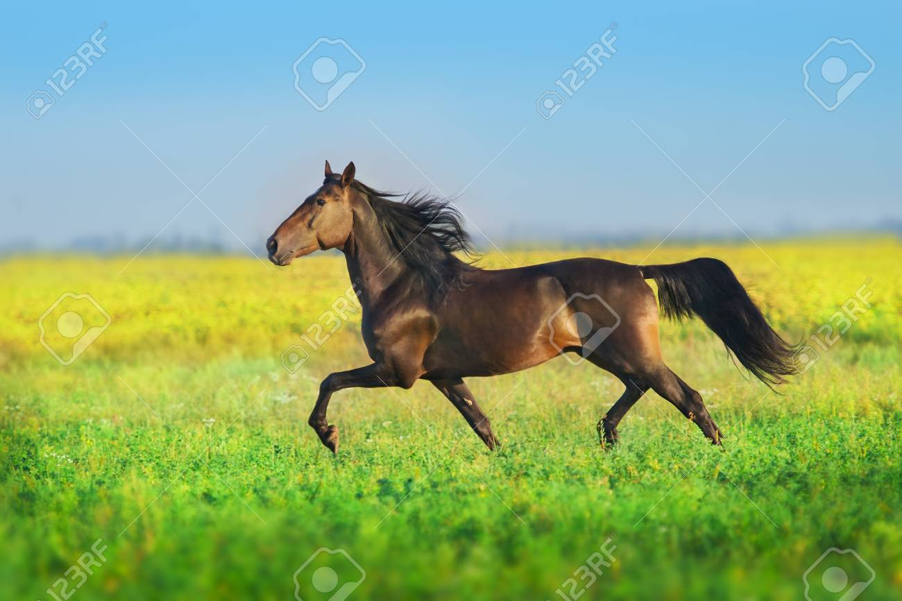 Bay trotter stallion run gallop in spring meadow - 117969287