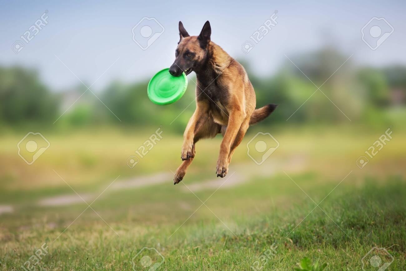 Malinois sheepdog run and play ball toy at summer field - 126638519