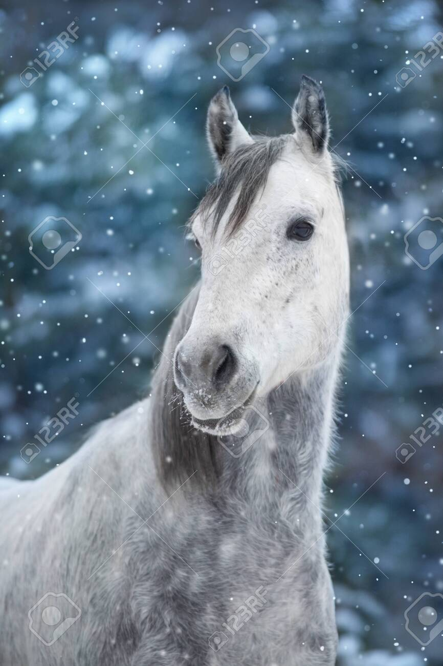 White Arabian Horse Portrait In Snow Landscape Stock Photo Picture And Royalty Free Image Image 134958952
