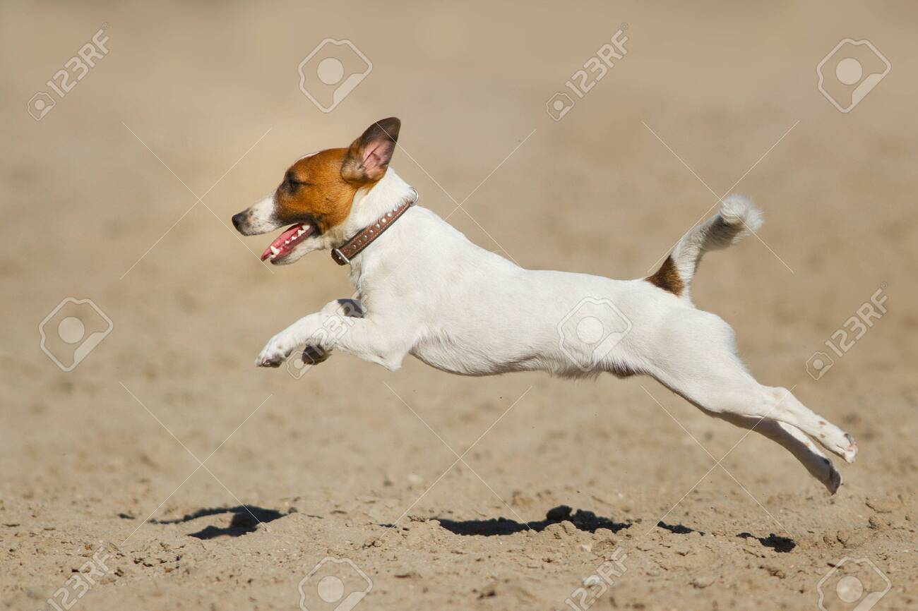 Jack russell terrier dog running on a beach of sea - 147559951