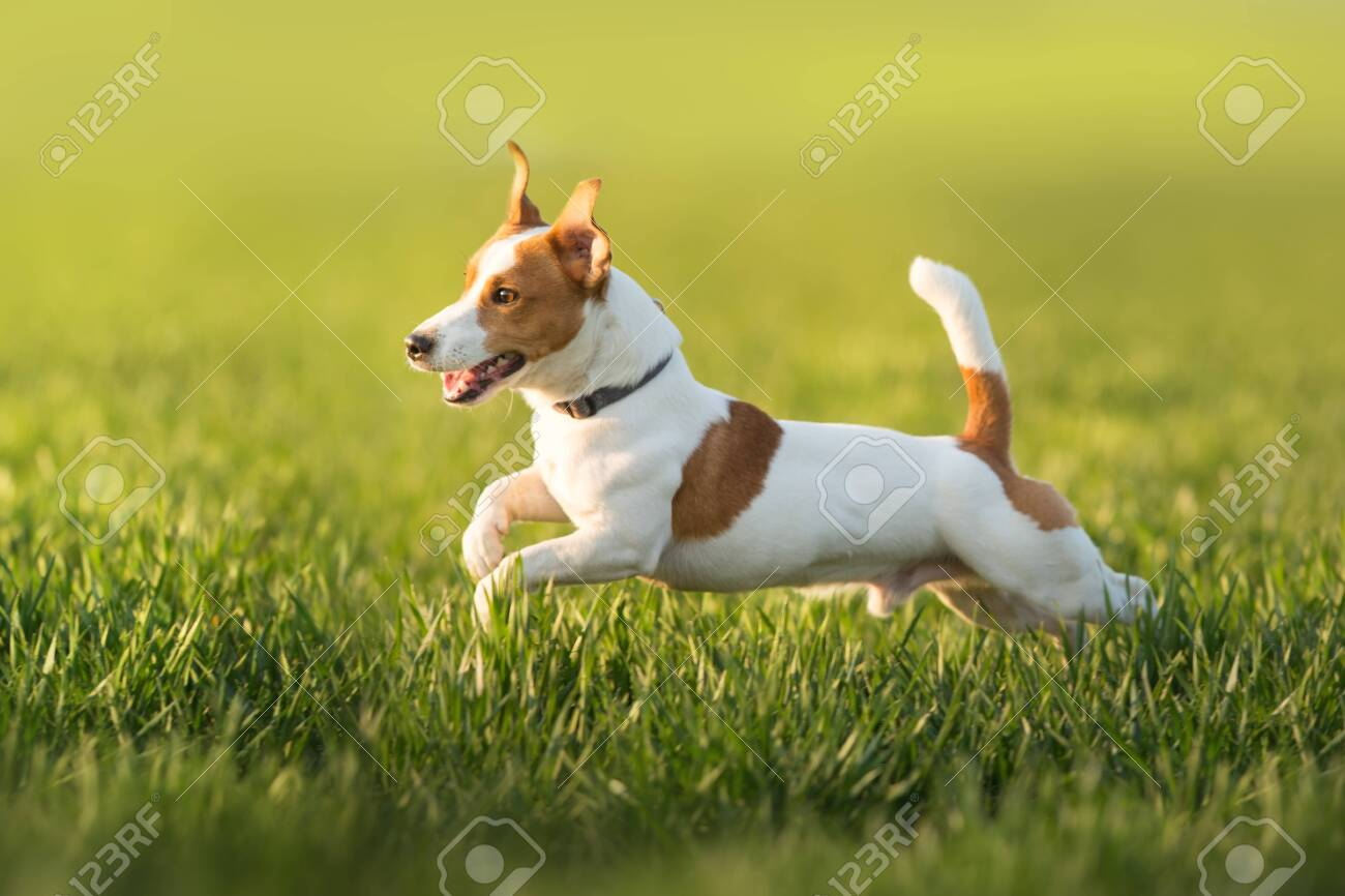 Jack russel terrier run on green spring field - 145528730
