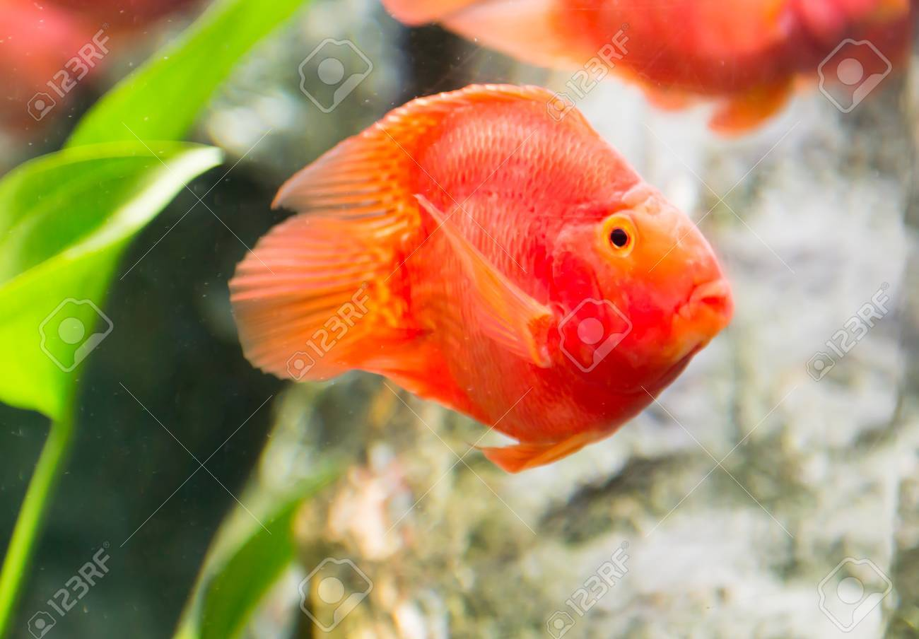 Red Blood Parrot Fish In Thailand Stock Photo, Picture And Royalty ...