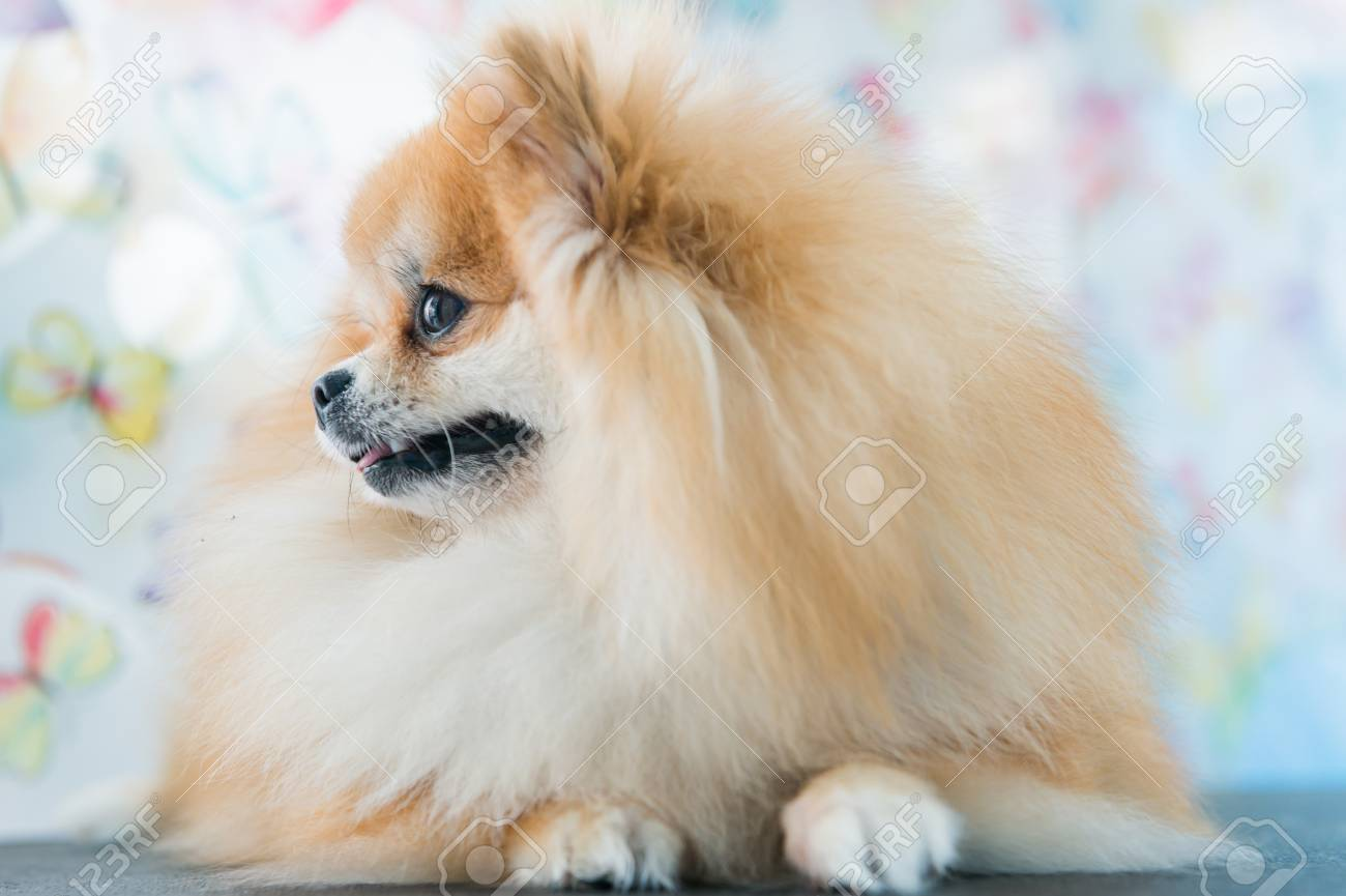 Cute Brown Pomeranian Dog On Wallpaper Background Stock Photo