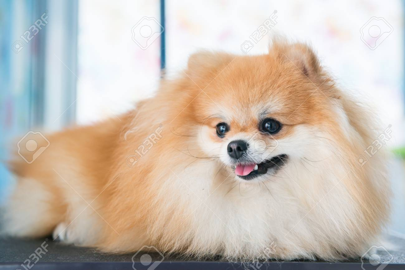 Cute Brown Pomeranian Dog On Wallpaper Background Stock Photo Picture And Royalty Free Image Image 44192458