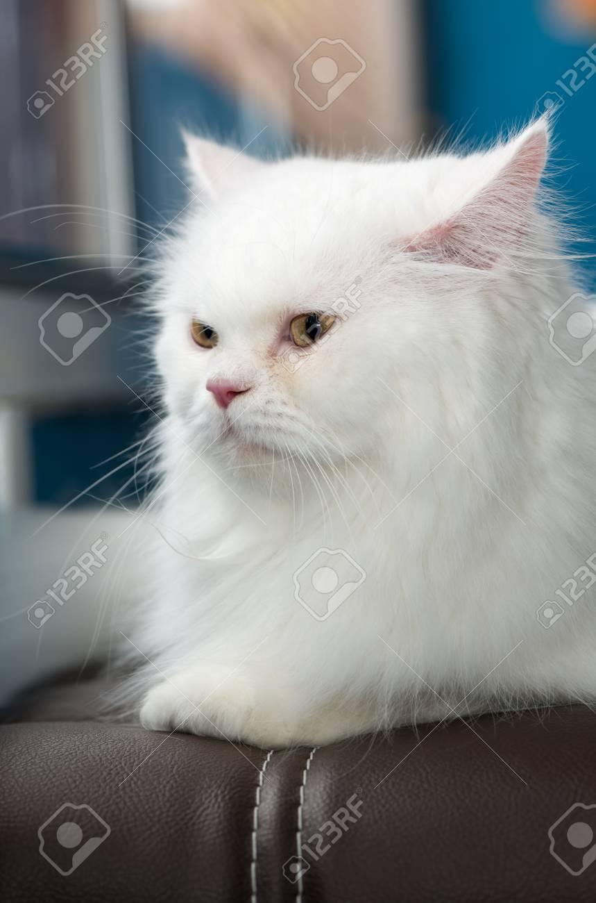 Immagini Stock Il Gatto Persiano Bianco Sveglio Si Siede Sul Sofà