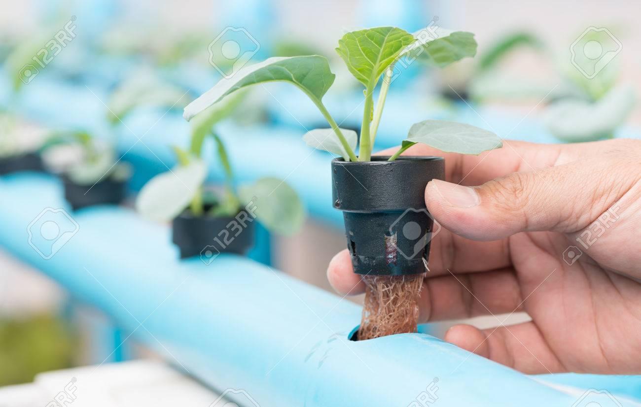mtodo de cultivo hidropnico de plantas usando soluciones de nutrientes minerales en el agua cada