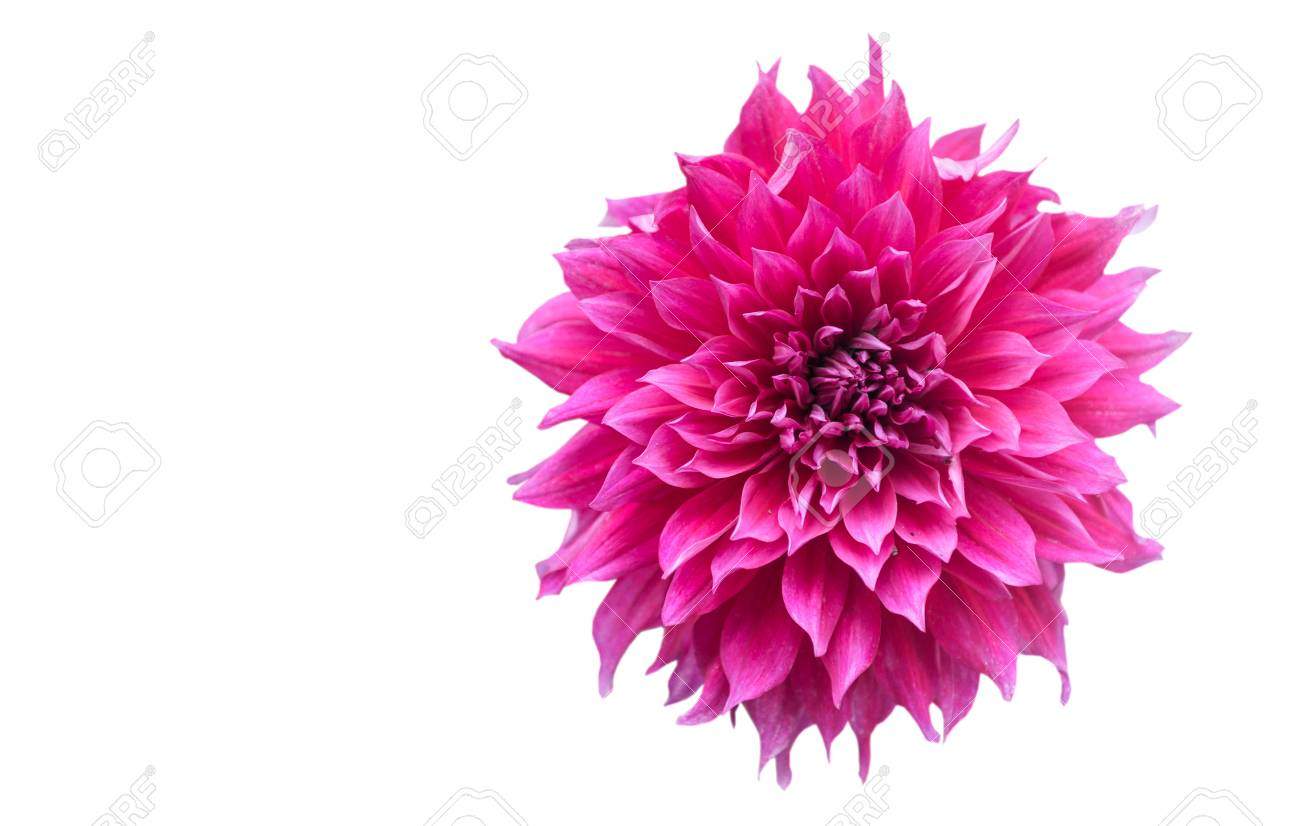 Hybrid Vivid Pink Dahlia Flower In Autumn Season Isolated On