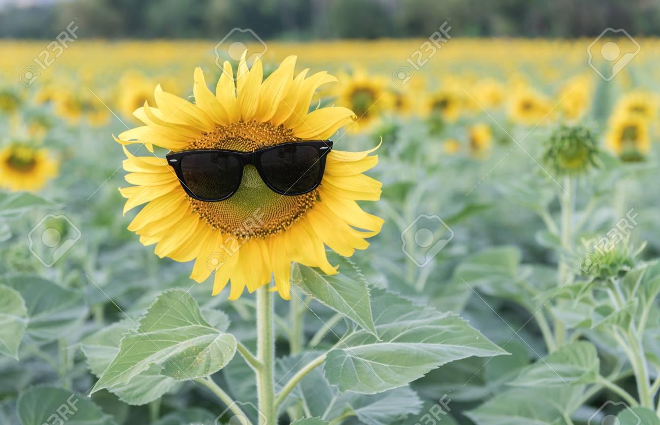 ひまわり畑のヒマワリかわいいサングラス 写真素材 , 68445096
