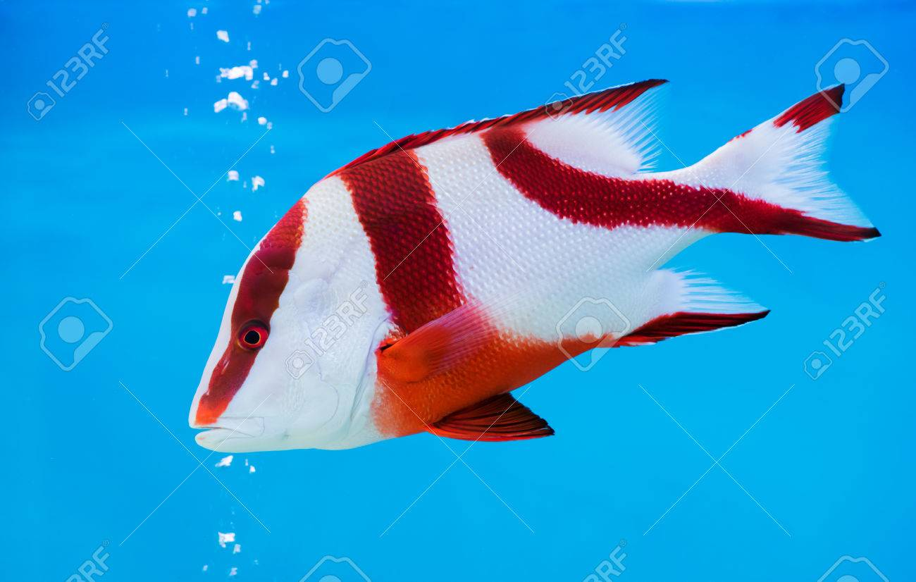 Emperor Red Snapper Fish On Blue Background, Beautiful Sea Fish ...