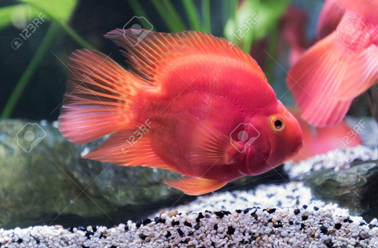 Red Blood Parrot Fish In Thailand, Fresh Water Fish. Stock Photo ...