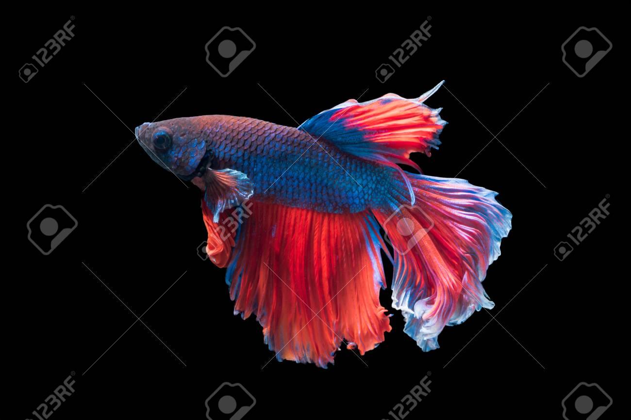 Betta Splendens, Beautiful Fighting Fish Isolated On Black ...
