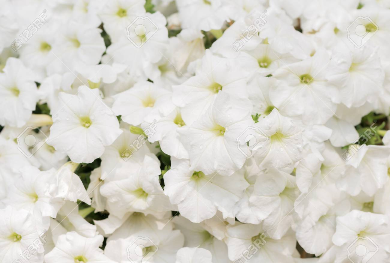 Beautiful White Petunia Flower On Top View Flower Background