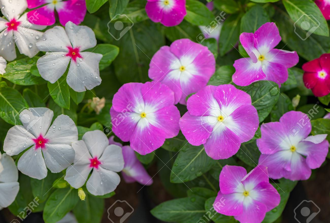 beautiful west indian periwinkle or madagascar periwinkle flower..