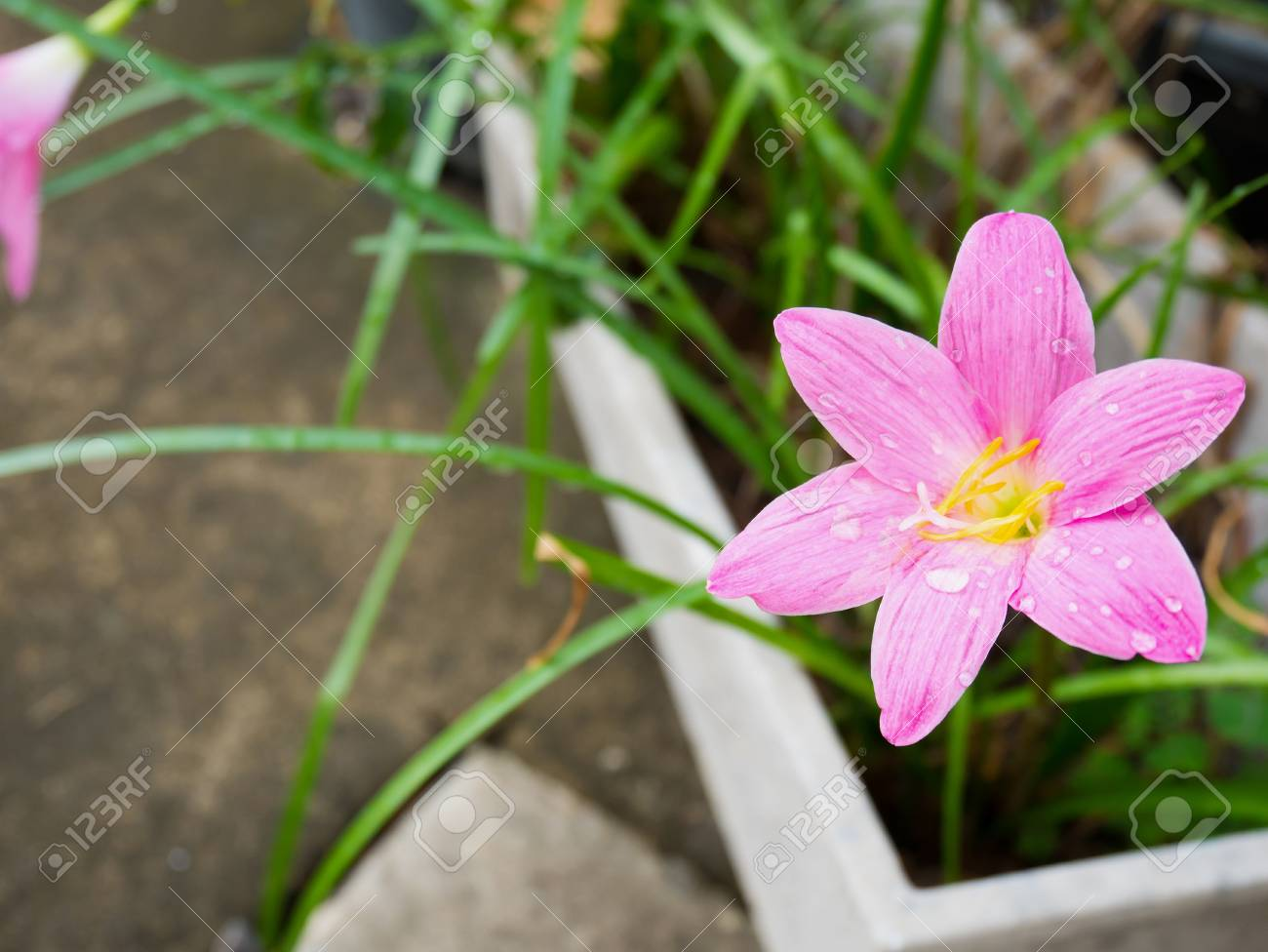 Pink Color Rain Lily Flower Stock Photo, Picture And Royalty Free ...