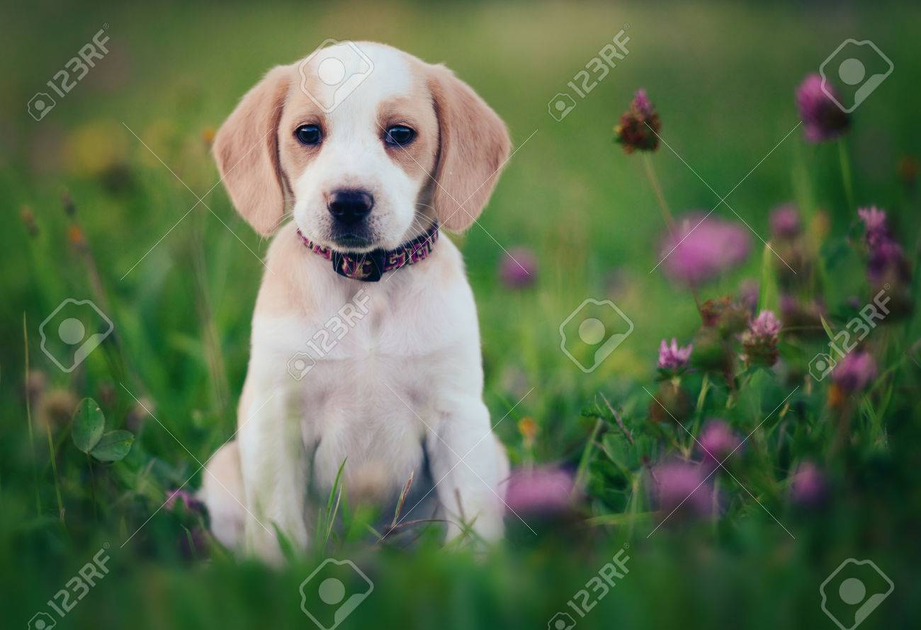 Cute Beagle Dog Puppy Stock Photo Picture And Royalty Free Image Image 63790077