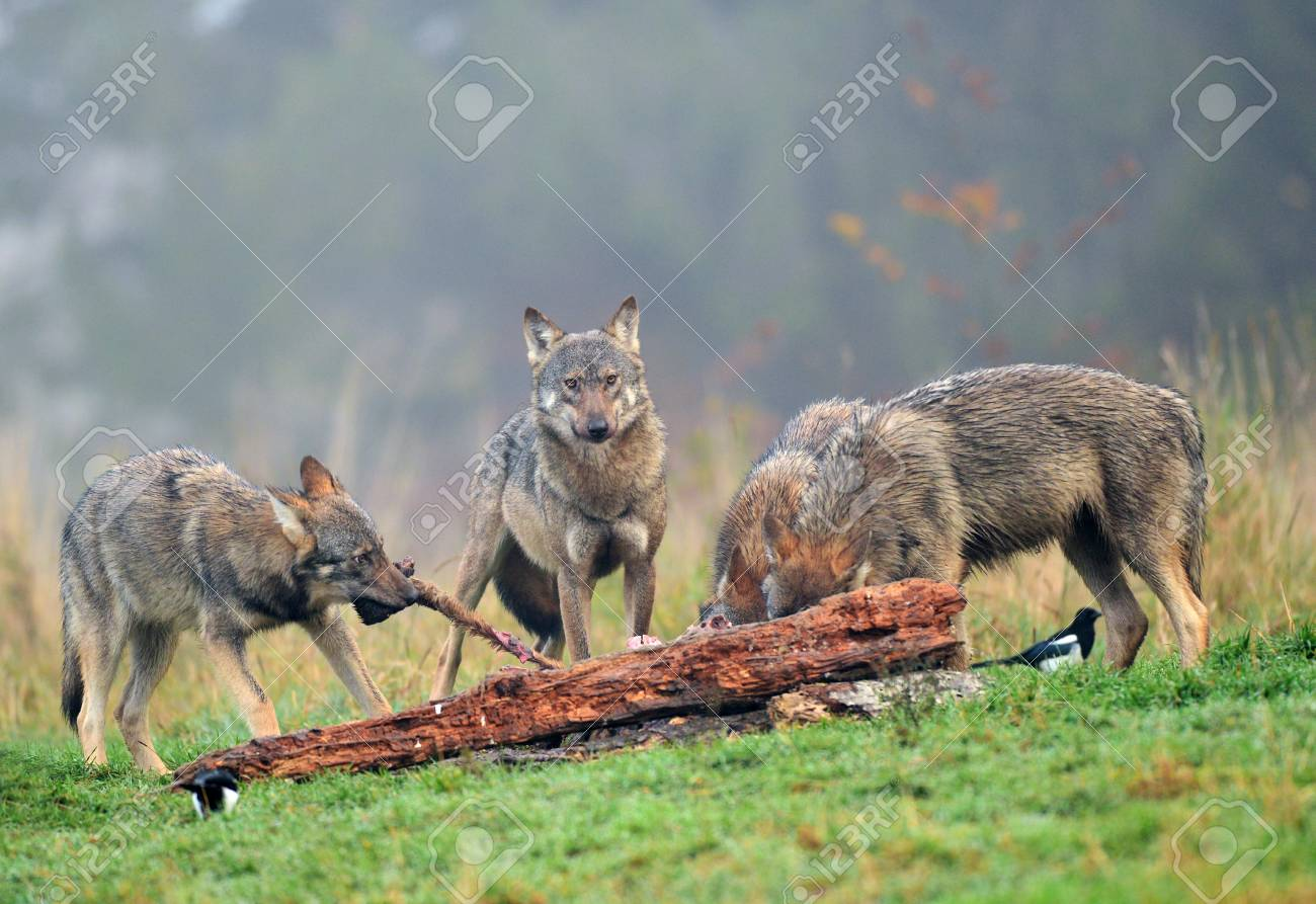Gray wolf (Canis lupus) - 88428557