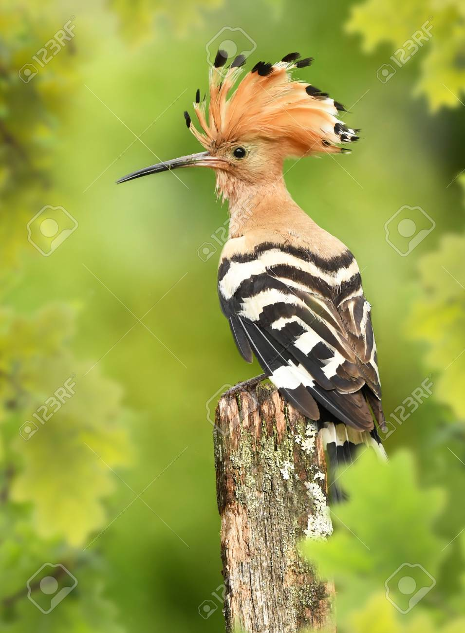 Eurasian Hoopoe Or Common Hoopoe Upupa Epops Stock Photo Picture And Royalty Free Image Image 109241170