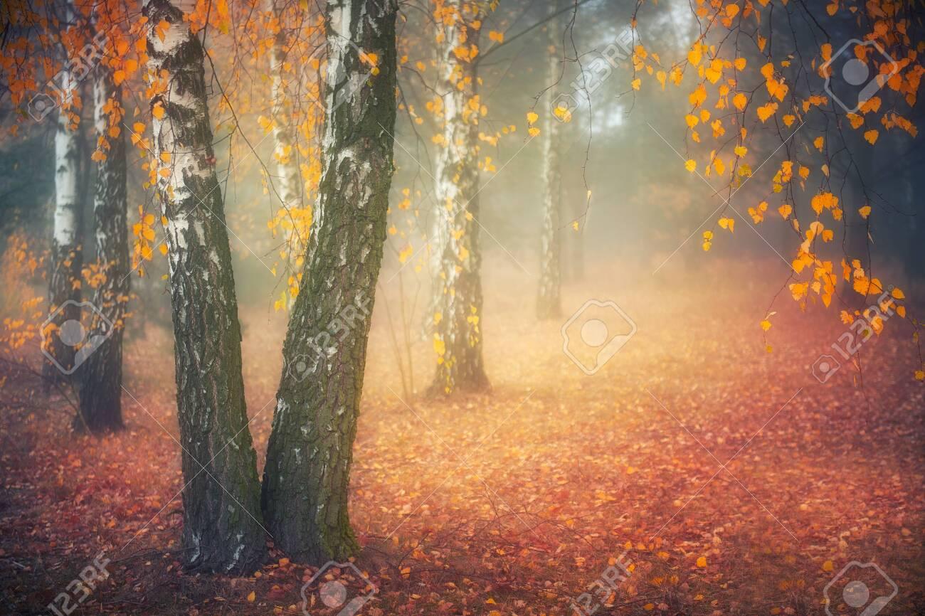 Misty morning in autumn birch forest - 140115075