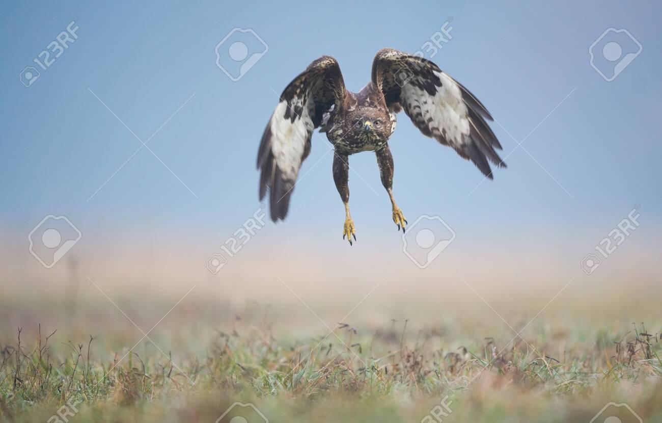 Common buzzard (Buteo buteo) in flight - 142780867