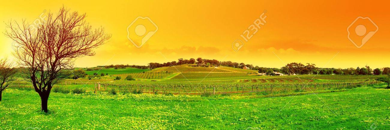 Panoramic Image of a Tree and a Vineyard at Sunset Stock Photo - 1093008