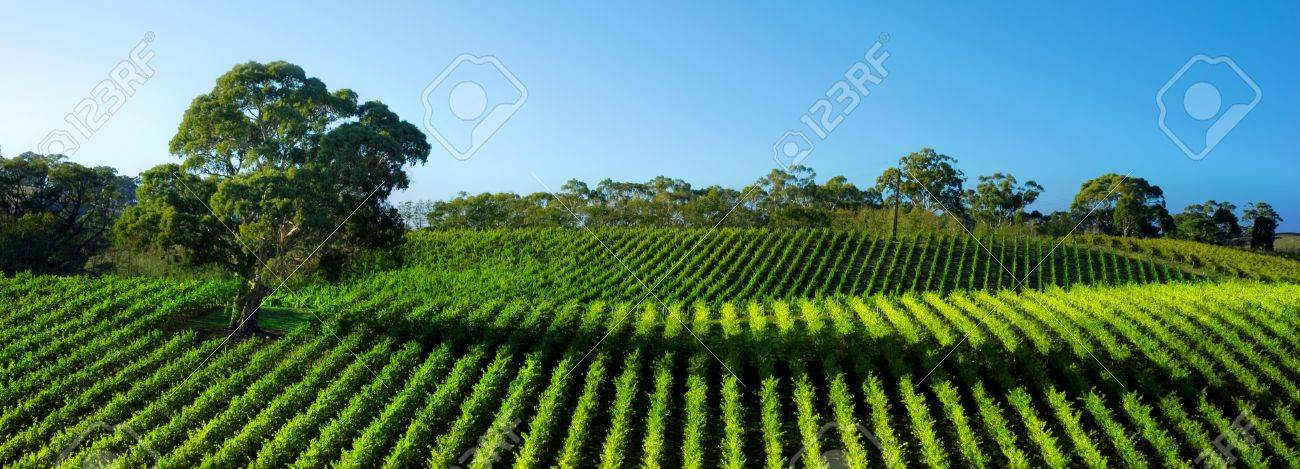 Beautiful Vineyard Panorama with large gum tree Stock Photo - 4023776