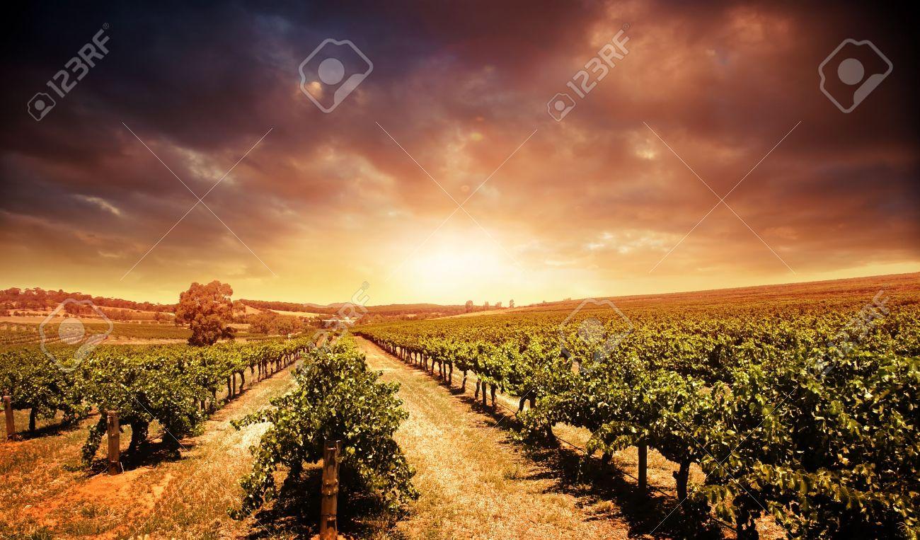 Beautiful scenic vineyard with stormy sunset sky Stock Photo - 11313203