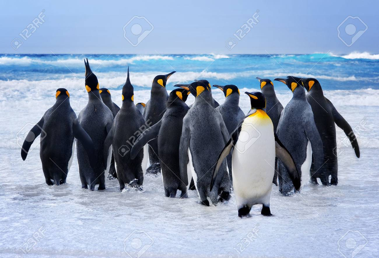 King Penguins heading to the water in the Falkland Islands Stock Photo - 23653204