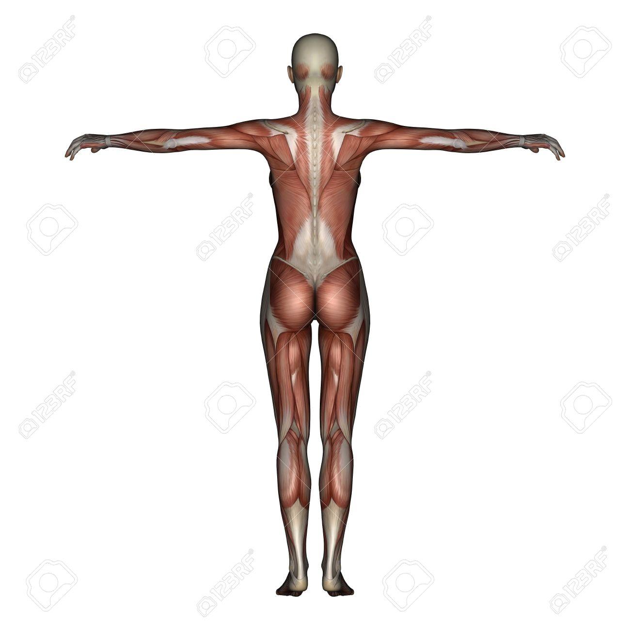 Contemporáneo Músculo Anatomía 3d Ornamento - Anatomía de Las ...