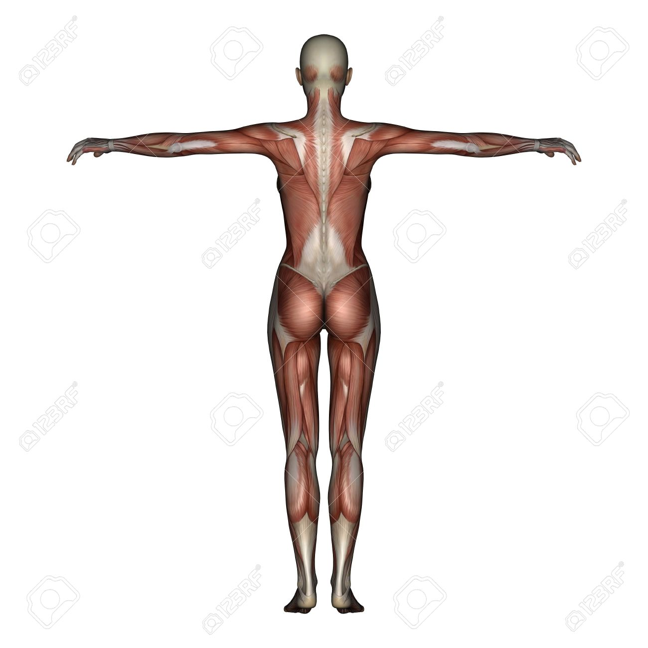 Excepcional Anatomía Muscular 3d Adorno - Imágenes de Anatomía ...