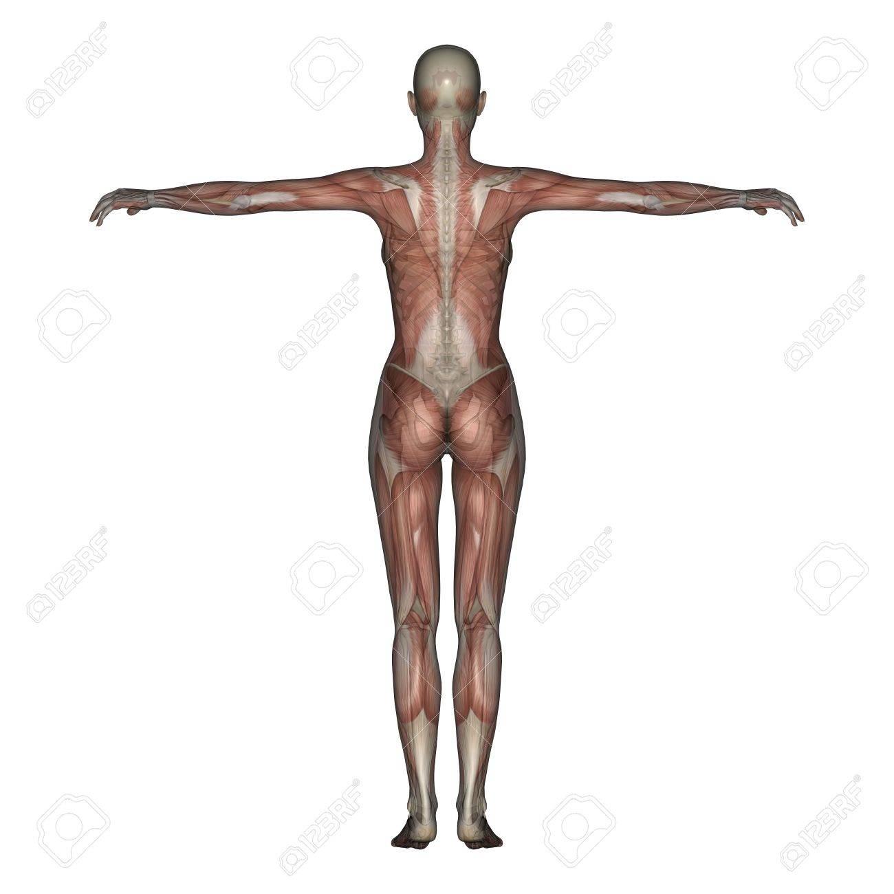 3D Rendern Von Einem Weiblichen Skelett Mit Transparenten Muskeln ...