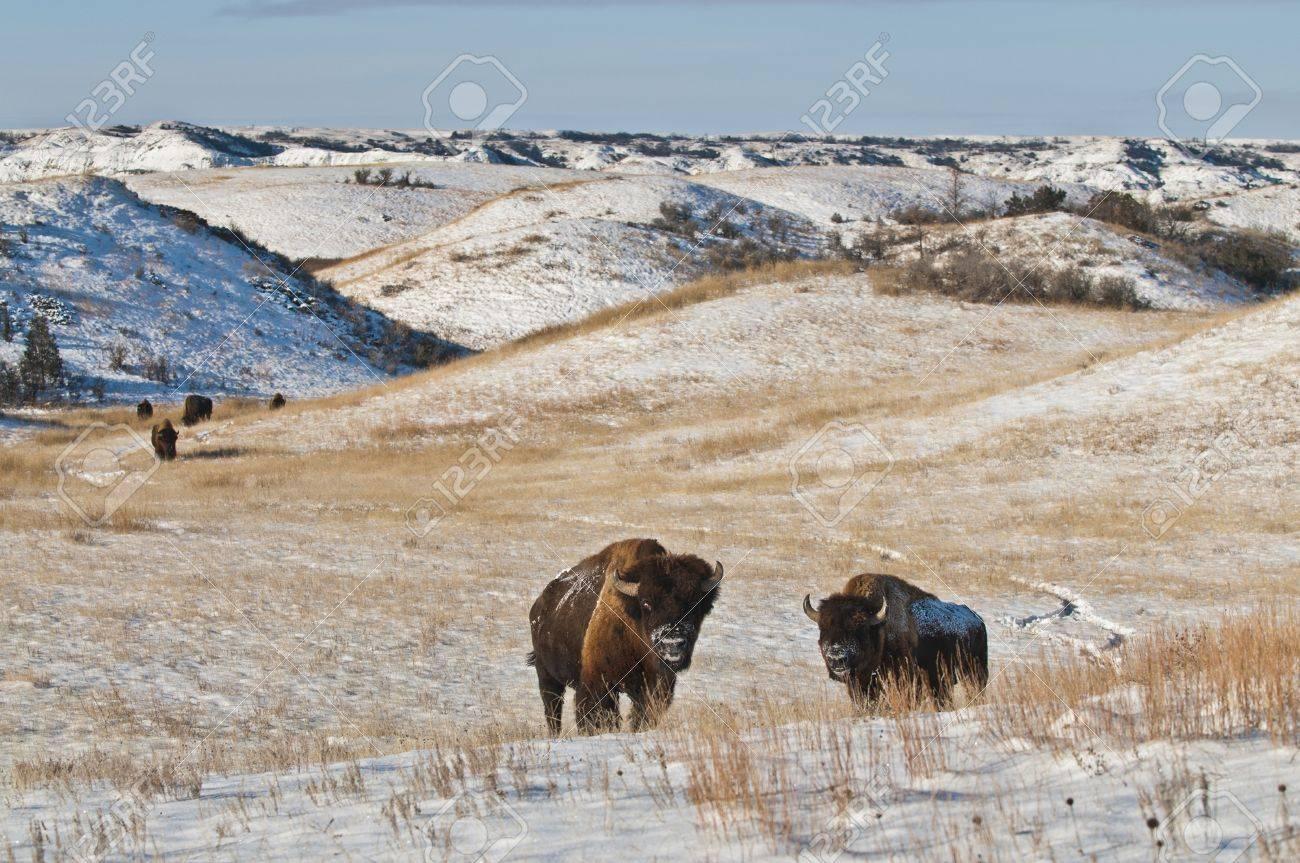 Buffalo in Theodore Roosevelt National Park Stock Photo - 10467792
