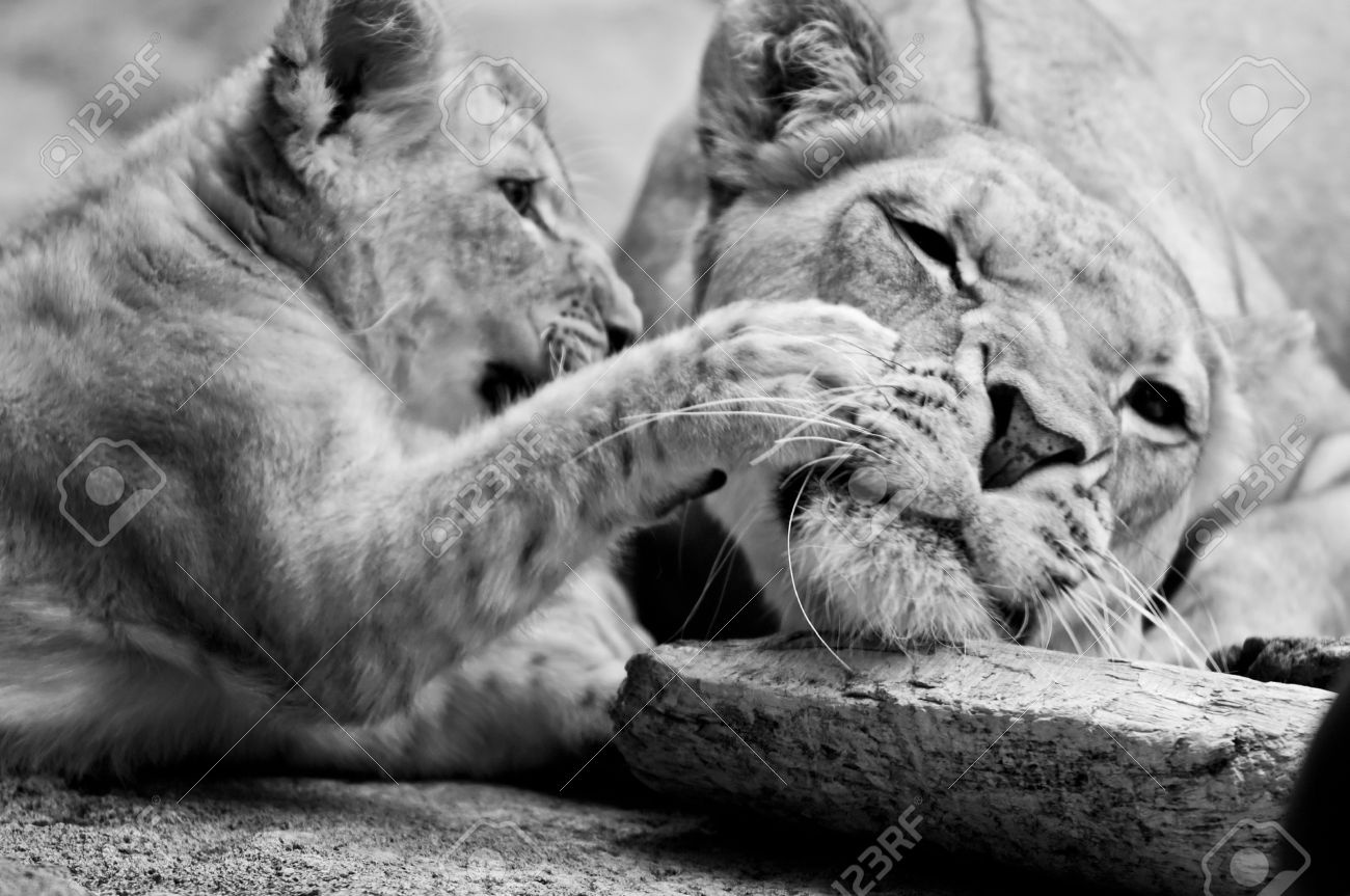 Black and white photo of a little lion cub and its mother stock photo