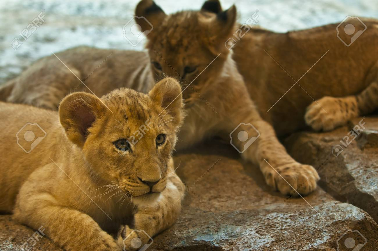 Three four month old lions lying on the rocks - 11673772