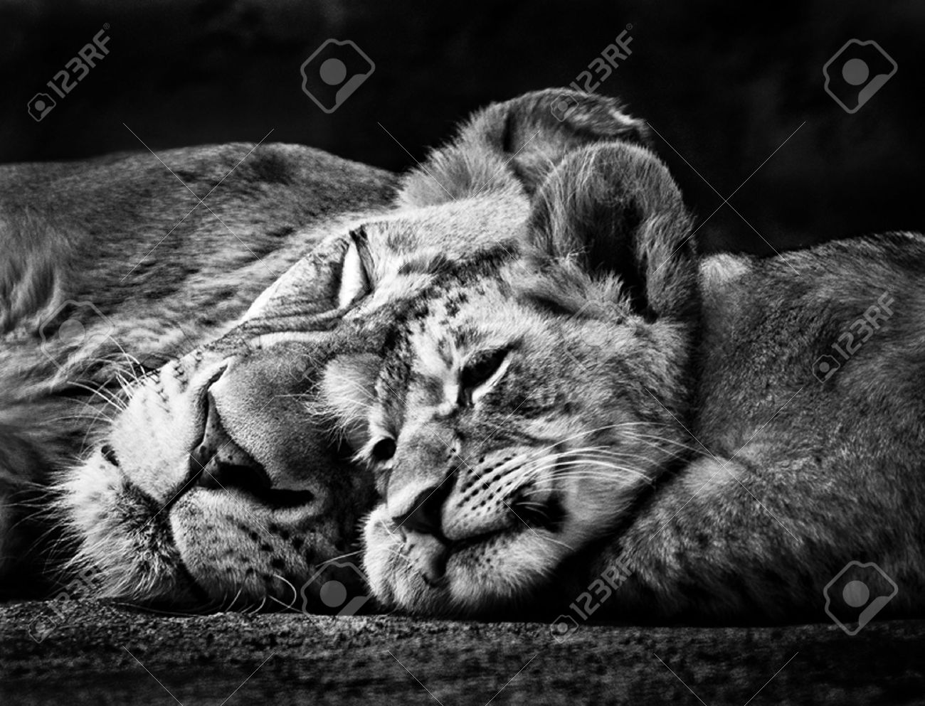 Black and white photo of two sleeping lions stock photo 11673742
