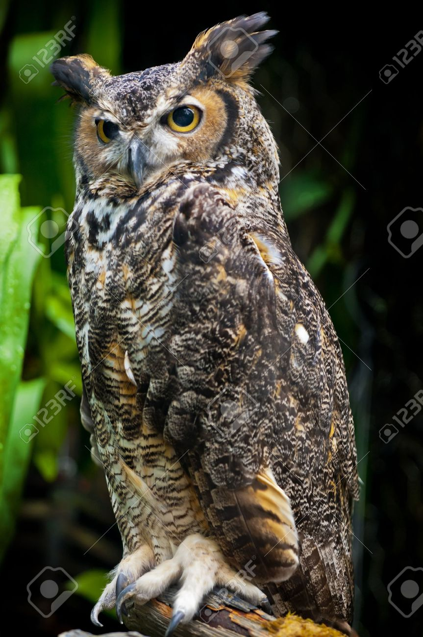 Great Horned Owl, (Bubo virginianus), also known as the Tiger Owl - 12015098