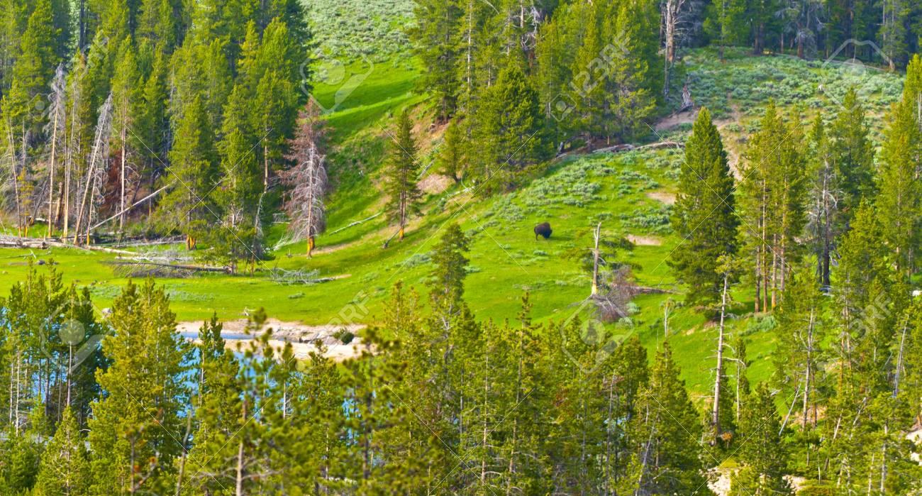 Single buffalo graze along a Yellowstone  river Stock Photo - 12827270