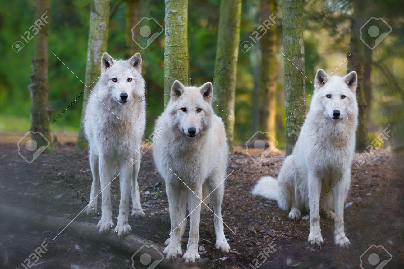Tres Lobos Blancos Hermosos Que Miran Directamente A La Cámara Fotos